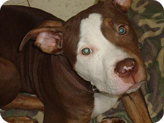 Pit Bull Terrier Mix Puppy for adoption in Philadelphia, Pennsylvania - Tarzan