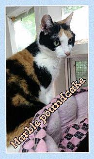 Domestic Shorthair Cat for adoption in Huntington, New York - Marble Poundcake