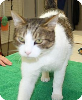 Domestic Shorthair Cat for adoption in Cottageville, West Virginia - Gratitude