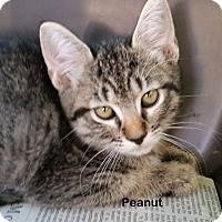 Adopt A Pet :: Peanut - Portland, OR