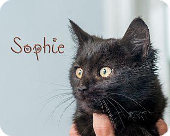 Domestic Shorthair Kitten for adoption in Somerset, Pennsylvania - Sophie