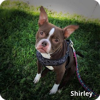 American Pit Bull Terrier/Boston Terrier Mix Dog for adoption in Weatherford, Texas - Shirley