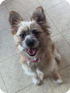 Cairn Terrier Mix Dog for adoption in Breinigsville, Pennsylvania - Sasha *in foster**