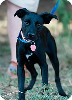 Labrador Retriever/Border Collie Mix Dog for adoption in Seneca, South Carolina - Deb - $125