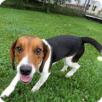 Beagle Mix Dog for adoption in Janesville, Wisconsin - Arrow