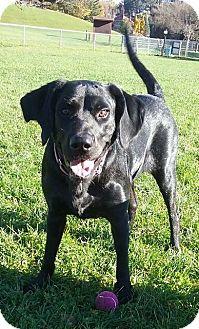 Labrador Retriever Dog for adoption in Livonia, Michigan - Abbie-ADOPTED