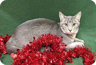 Abyssinian Kitten for adoption in Lexington, North Carolina - YULE