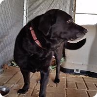 Adopt A Pet :: Pixie - Jackson, MO