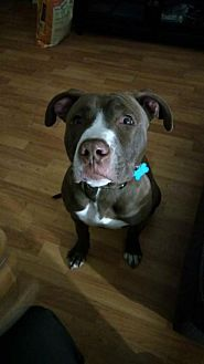 Pit Bull Terrier Mix Dog for adoption in St Louis, Missouri - Tucker