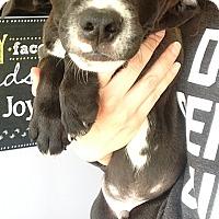 Adopt A Pet :: Gracie pup 2 - Pompton Lakes, NJ
