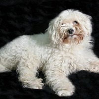 Bichon Frise/Poodle (Miniature) Mix Dog for adoption in Bedminster, New Jersey - Popcorn