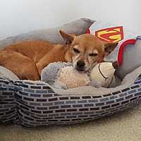 Adopt A Pet :: Rocky Balboa - Huntington Beach, CA