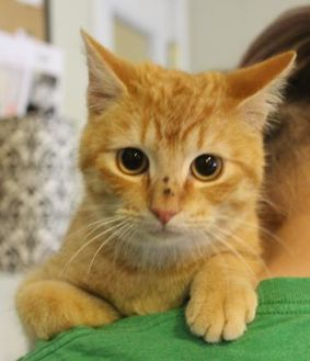 Domestic Shorthair/Domestic Shorthair Mix Cat for adoption in Amory, Mississippi - Tiger