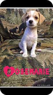 Jack Russell Terrier/Feist Mix Puppy for adoption in Glastonbury, Connecticut - Rosemarie