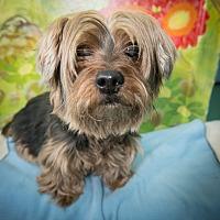 Adopt A Pet :: Bubbles - New York, NY