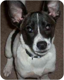 Jack Russell Terrier Mix Dog for adoption in Thomasville, North Carolina - Henry