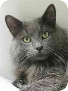 Domestic Mediumhair Cat for adoption in Norwalk, Connecticut - Donny