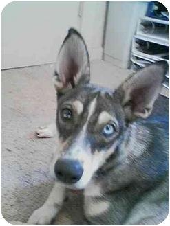 Husky/Australian Cattle Dog Mix Dog for adoption in Guthrie, Oklahoma - Jackson