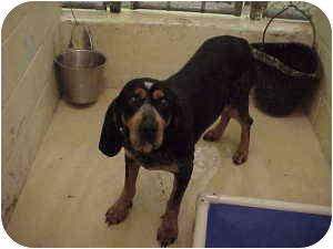Bluetick Coonhound Mix Dog for adoption in Gladwin, Michigan - Blue Tick Mix