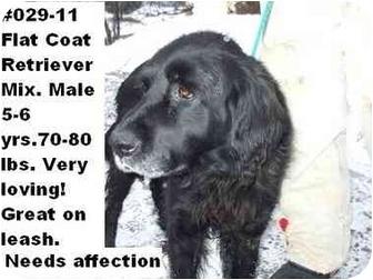 Flat-Coated Retriever Mix Dog for adoption in Zanesville, Ohio - # 029-11 @ Animal Shelter