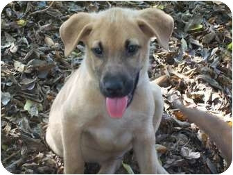 Shepherd (Unknown Type) Mix Puppy for adoption in Albany, New York - Carter