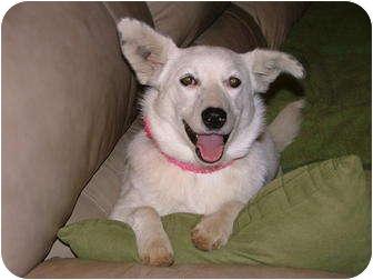 Spitz (Unknown Type, Medium)/Shepherd (Unknown Type) Mix Dog for adoption in Hartford, Connecticut - Snowy