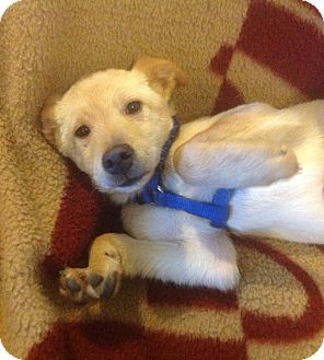 Labrador Retriever Puppy for adoption in Modesto, California - Rocky