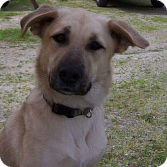 Shepherd (Unknown Type) Mix Dog for adoption in Grants Pass, Oregon - Lucy