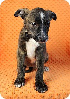 Blue Heeler/Shepherd (Unknown Type) Mix Puppy for adoption in Broomfield, Colorado - Monseratt