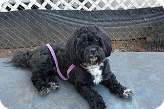 Cockapoo Mix Dog for adoption in Clarksville, Tennessee - Ray-Charles
