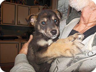 German Shepherd Dog/Siberian Husky Mix Puppy for adoption in Cincinnati, Ohio - St. Nick