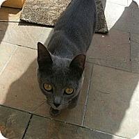 Adopt A Pet :: Baby Girl Pearl - Whitestone, NY