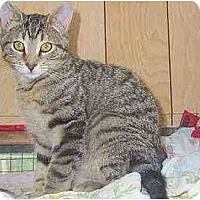 Domestic Shorthair Kitten for adoption in Chapman Mills, Ottawa, Ontario - OPEE