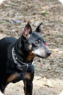 Miniature Pinscher Mix Dog for adoption in Brookhaven, New York - Miller