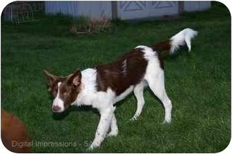 Border Collie Mix Puppy for adoption in Bellevue, Nebraska - Ryanne