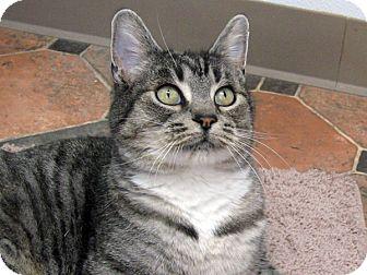 Domestic Shorthair Cat for adoption in Republic, Washington - Kestrel