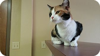 Calico Cat for adoption in Lakeland, Florida - Tabitha