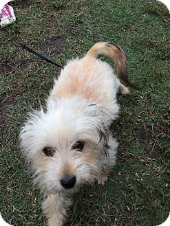 Maltese Mix Puppy for adoption in Williamsburg, Virginia - SOPHIE