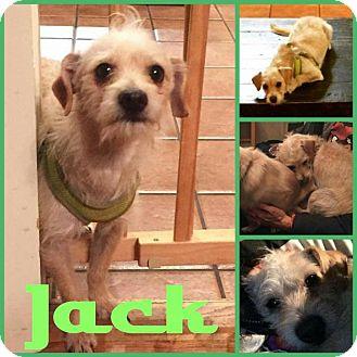 Cairn Terrier/Dachshund Mix Dog for adoption in Arlington, Texas - Jack