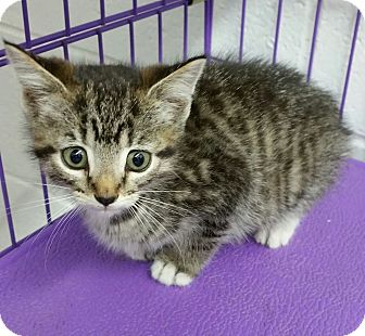 Domestic Shorthair Kitten for adoption in Paducah, Kentucky - Mary