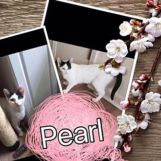 Domestic Shorthair Cat for adoption in Hammond, Louisiana - Pearl