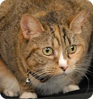 Calico Cat for adoption in Newland, North Carolina - Tripper