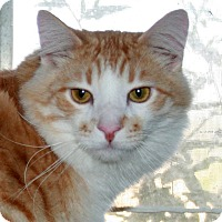 Adopt A Pet :: Tommy - Phelan, CA