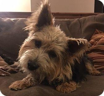 Norwich Terrier Dog for adoption in Omaha, Nebraska - Clark