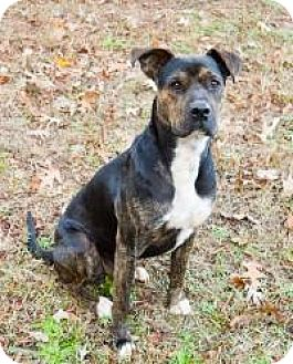 Terrier (Unknown Type, Medium)/Pit Bull Terrier Mix Dog for adoption in Greensboro, Georgia - Burt