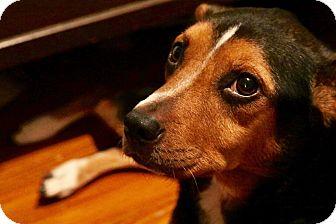 Blue Heeler/Hound (Unknown Type) Mix Dog for adoption in Saint Augustine, Florida - Angel
