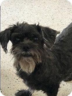 Shih Tzu/Miniature Schnauzer Mix Dog for adoption in Boynton Beach, Florida - Lilly