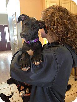 Labrador Retriever/Terrier (Unknown Type, Medium) Mix Puppy for adoption in FOSTER, Rhode Island - Bailey