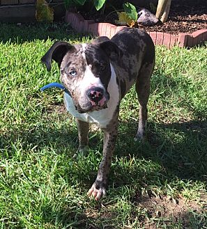 Pit Bull Terrier/Catahoula Leopard Dog Mix Dog for adoption in Kingwood, Texas - Dexter