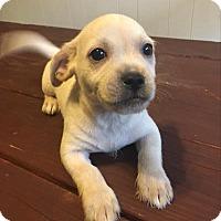 Adopt A Pet :: Sesame - Paprika Pup - Encino, CA
